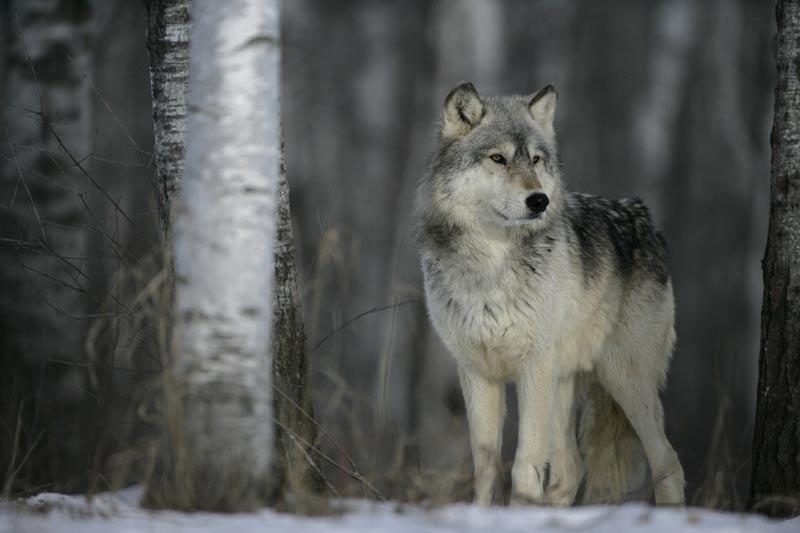 huge British Columbia wolf