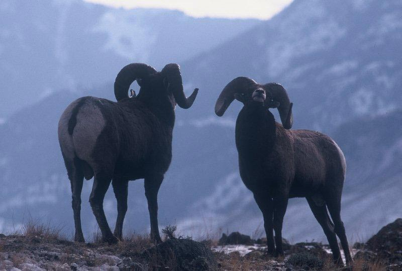 Two majestic Bighorn Rams about to fight on mountain top.